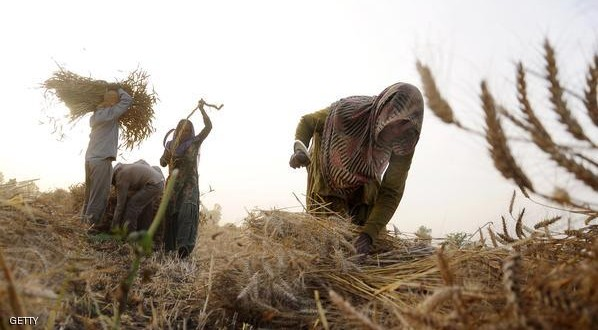 Indian labourers prepare sheaves of wheat after harvesting the crop in a village at Patiala on April 19, 2015.  AFP PHOTO        (Photo credit should read STR/AFP/Getty Images)