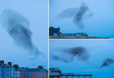 طيور الزرزور ترسم لوحة رائعة