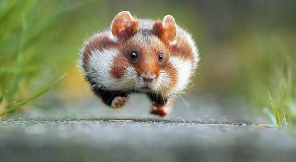 comedy-hamster_3497562b