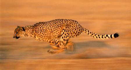 cheetah_run_494_990x742_750x400_706645715