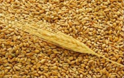 إطلاق مستحقات المزارعين من مسوقي بذور الرتب العليا لمحصول الحنطة 2016