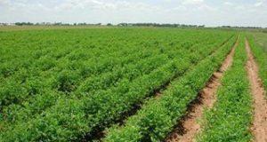 زراعة 680 دونما بمختلف المحاصيل الشتوية في شعبة زراعة الحسينية